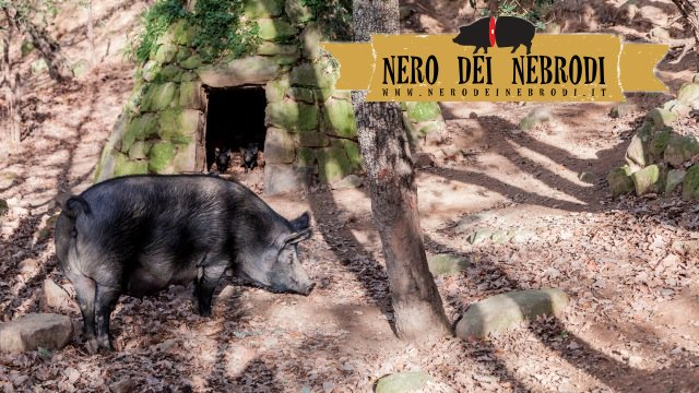 Nebrodi Black Pig breeding